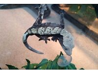 Crested Gecko Male CB13 & Full Set-up
