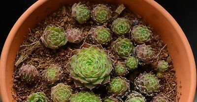 Sempervivum losing their bright red colours in winter