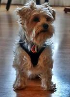 "Adult Male Dog - Yorkshire Terrier Yorkie: ""Bentley"""