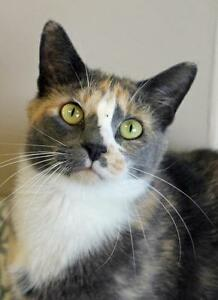 """Young Female Cat - Domestic Short Hair-Calico: """"Dory"""""""