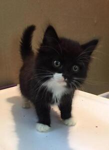"""Baby Male Cat - Domestic Long Hair-black and white: """"Quincy"""""""