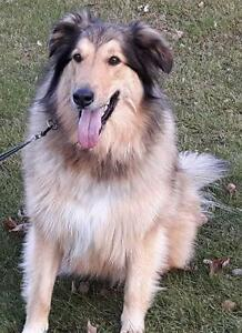 "Adult Female Dog - Collie: ""Paige"""