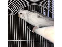 Male Cockatiel and Cage for Sale