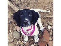 KC Registered Female Springer Puppy