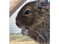 Three Degu's + Cage for sale