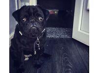 1 year old black girl pug