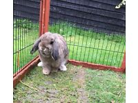 Mini lop rabbit and dwarf rabbit 9 months old