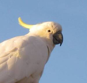 Female cockatoo Gawler Gawler Area Preview