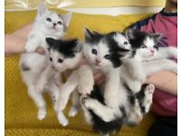 Gorgeous 5 Kittens looking for loving home.