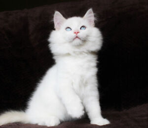 Cream Bicoloured Ragdoll Male Kitten is Available for Adoption