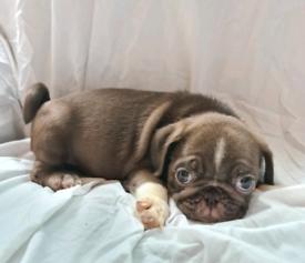 Choc pug pups high quality kc registered