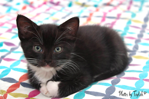 Basil rescue KITTEN to adopt VET WORK INC Craigie Joondalup Area Preview