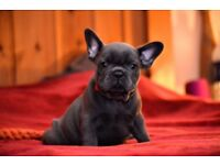 Blue French Bulldog Dogs Puppies For Sale Gumtree