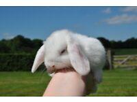 - Beautiful mini lop baby bunnies -