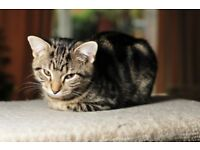 lost young female tabby cat