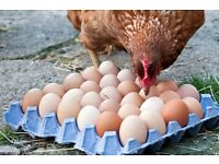 Weekend Egg Packer in Free Range Hen Unit - alternate weekends/holidays