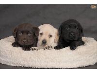 Cheap Labradors for sale