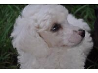 Kennel Club Registered Miniature Poodle Puppies