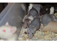 Fancy Rat dumbos and top eared