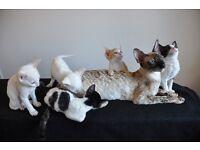 Beautiful Cornish Rex Kittens For Sale