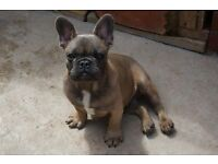 BLUE SABLE MALE FRENCH BULLDOG