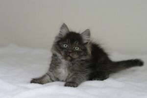 TICA registered Siberian Forest kittens