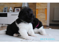 American Akita Puppies Kc Registered For Sale