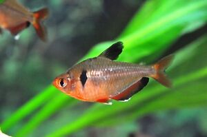 2 Tetra Fish For Fish Lovers