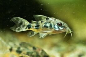 Peppered cory, cafish
