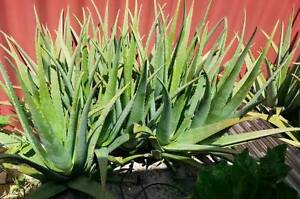 Aloe Vera Plants For Sale Canning Vale Canning Area Preview