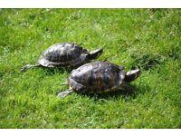 2 Turtles + tank + pump.