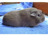 Chocolate guinea pig