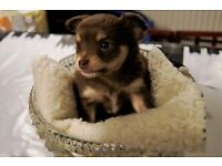 full chihuahua puppy