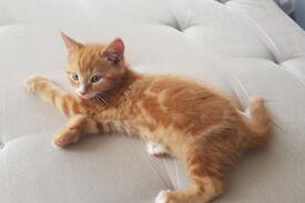 Ginger male kitte