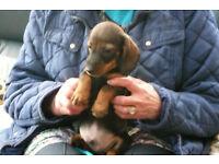 Male Daschund Puppy