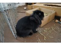 Rabbit for sale to a good home   Indoor Bunny with equipment