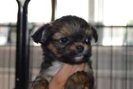 Chorkie puppies Ready Now!
