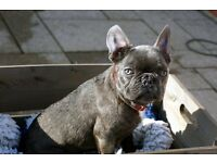 FRENCH BULLDOG / BLUE BRINDLE