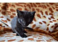 1 kitten for sale, ready to go after few days