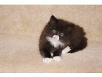 beautifull cross kitten for sale