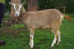 Purebred Toggenburg Goat
