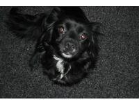Female cocker spaniel cross puppy for sale