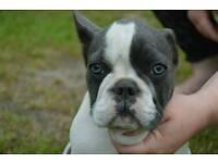 Beautiful French bulldog pup (white and blue)
