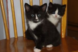 Two male kittens for sale