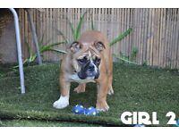 Gorgeous English Bulldog 4 Girls