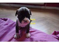 American Bulldog cross Staffordshire Bull Terrier puppies