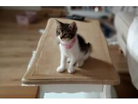 Domestic Short Hair Cute & adorable Kitten. Great Price. Has been Defleed. Very Well Behaved.