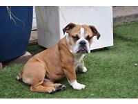 Beautiful English Bulldog Puppies For Sale. Only 4 left