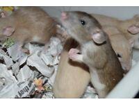 Fancy Rats Top Eared & Dumbo's