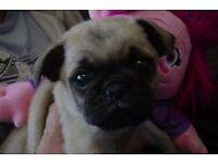 Chug+pugs puppies for sale